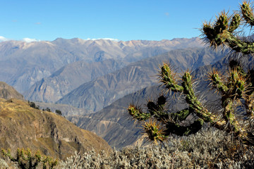 View of Colca Canyon, with Cactus in Foreground. Caylloma Province, Peru