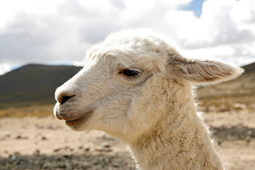Close-up of a Llama (Lama glama), in the Highlands of Peru.
