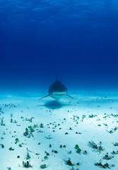 Tiger Shark Approaching over Sand Bottom. Tiger Beach, Bahamas