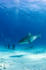 Tiger Shark between Surface and Sand Bottom, with Divers in the Back. Tiger Beach, Bahamas