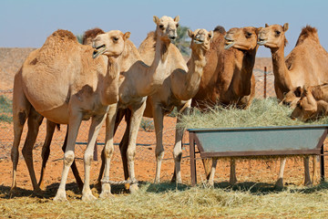 Group of camels at a feeding trough in a rural area of the United Arab Emirates.