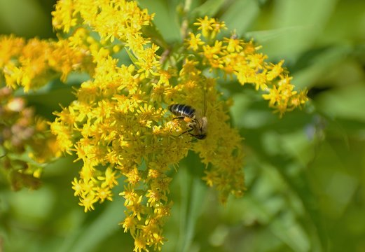 """The genus name Apis is Latin for """"bee"""", and mellifera is the Latin for """"honey-bearing""""."""