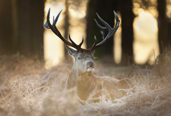 Red deer stag lying on frosty grass in early winter