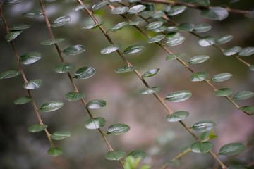 Irga - krzew o małych listkach i kolorowych owocach