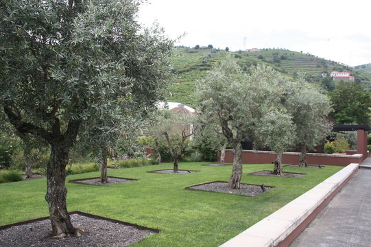 Luxury garden and olive tree of the Six Senses Hotel in Douro Valley, Portugal