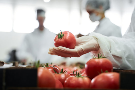 Hand in a latex glove holding a ripe tomato
