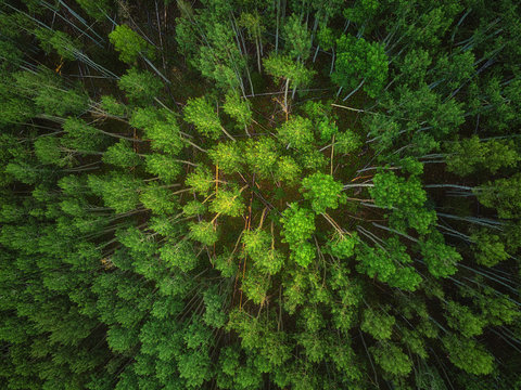 Fresh green pine forest shot in the spring with a drone from the air