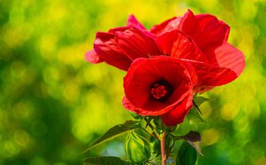 na zdjęciu piękny kwiat ogrodowy kochający wysokie temperatury.