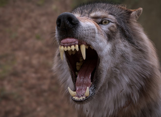 Photo sur Plexiglas Loup Angry Wolf yawning and showing big jaw, Blur background