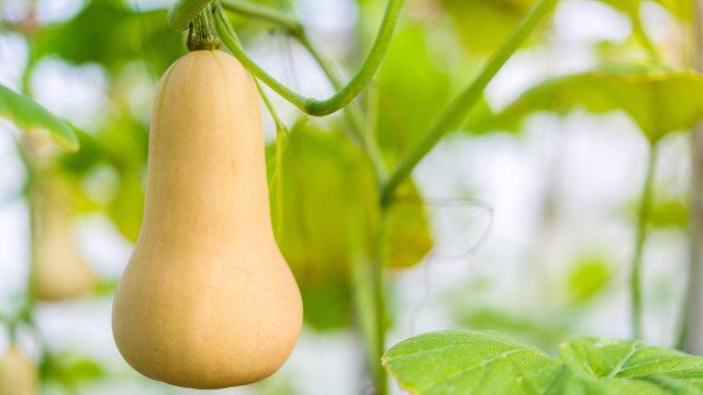 Butternut squash(Cucurbita moschata, Butternut Pumpkin) in the organic farm garden, selective focus,