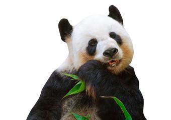 Isolated giant panda bear eating bamboo leaves on white background. Papier Peint