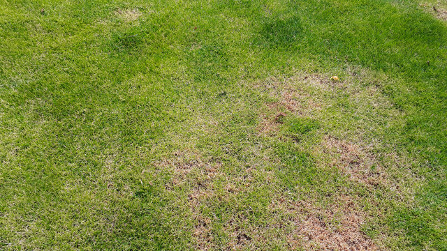 Green lawn with dead spot. disease cause amount of damage to green lawns, lawn in bad condition. Lawn problem