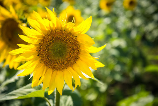Field of blooming sunflowers on a summer. Selective focus. Shallow DOF.