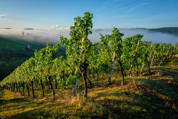 Vineyard with vines and fog in the valley