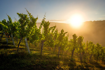 Sunrise in a vineyard with morning mist