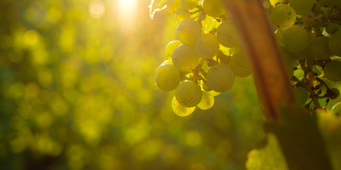 Green Riesling grapes in back light in morning sun
