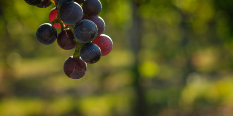 Red wine grapes in back lit bokeh