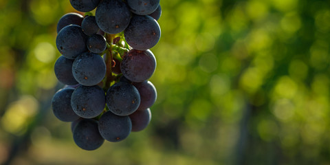 Red wine grapes close-up in a vineyard