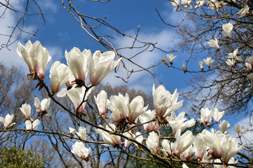 Wall Murals Roe Yulan magnolia or white star magnolia in bloom