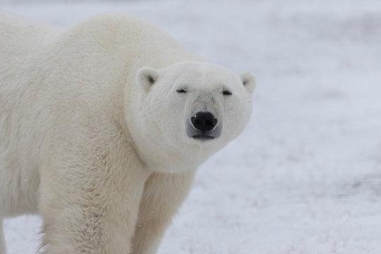 Adult Polar Bear in Sub-arctic region of Hudson Bay Canada