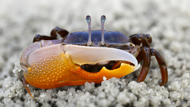 violinist crab on the sand. a strong carapace for protection and a giant orange claw as a weapon for defense, this shy crustacean is a formidable fighter. macro photo on a beach on a Thai island