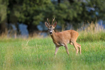 Roe deer, capreolus capreolus during rutting season. Male on nice meadow with beautiful background