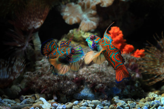 Beautiful color mandarin fish, colorfull mandarin fish, manddarin fish closeup, Mandarinfish or Mandarin dragonet