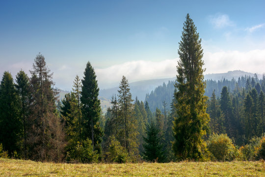 spruce forest on the hillside in autumn. sunny and hazy morning in carpathian mountains. ridge in the distance beneath a clouds on the blue sky