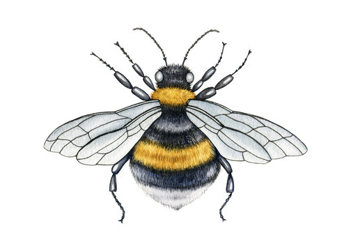 Bumblebee close up watercolor illustration. Hand drawn fluffy striped meadow insect. Bumblebee with wings and legs top view. Garden honey pollinator insect isolated on white background