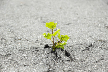 Small green tree broke the gray asphalt and grew out of it