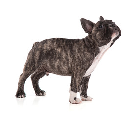 French bulldog puppy standing
