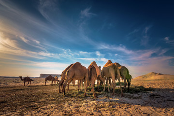 Beautiful desert view and group of camels near Al sarar desert in Saudi Arabia.background blurred image.