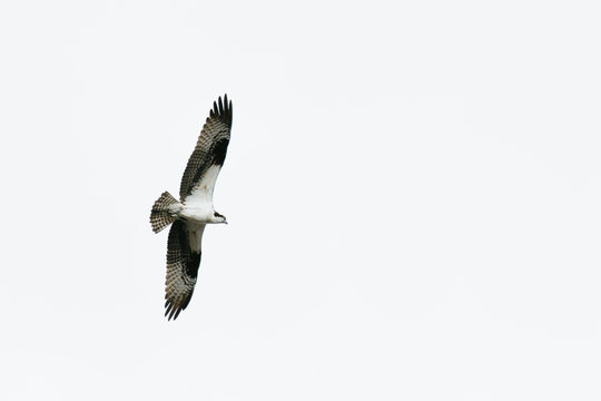 View from below of an osprey soaring above