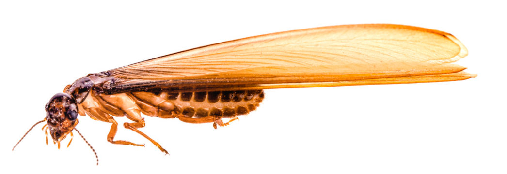 flying termite on white background
