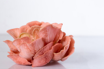 Pink Oyster Mushroom cluster in a white bowlPink Oyster Mushroom cluster on white
