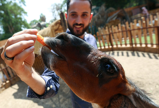 A man feeds llama on the first day of reopening the Giza zoo, amid the outbreak of the coronavirus disease (COVID-19), on the outskirts of Cairo
