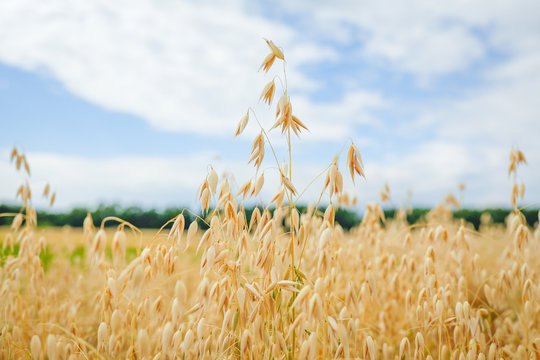 Ripe ears of oats against a sky. Concept of harvest, fertility, prosperity. Selective focus