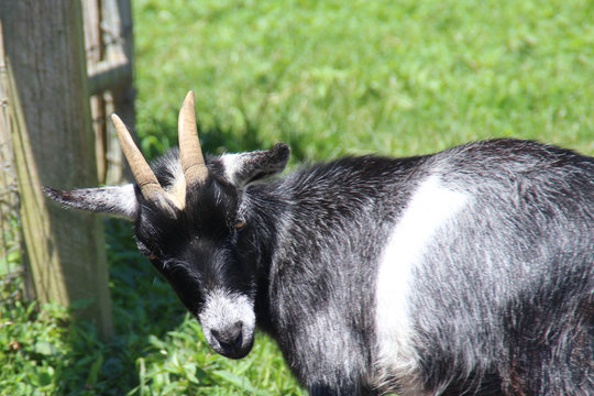 A Goat With An Attitude