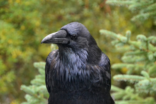 Close Up of a Watchful Raven
