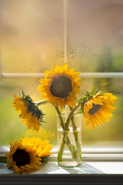 Sunflower by the window