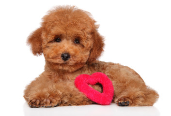 Wall Mural - Poodle puppy lying with a red heart figure