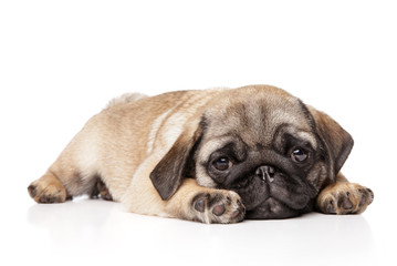 Wall Mural - Sad Pug puppy resting on a white background