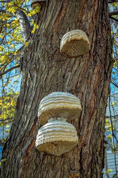 Chaga mushroom -  Inonotus obliquus – growing on a tree trunk in a forest. Shelf fungus used in alternative medicine