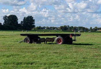 Sheep seeking refuge in shade under trailer in field