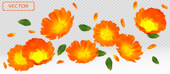3D realistic marigold flower with green leaf. Yellow calendula flower in motion. Beautiful marigold background. Falling flower calendula. Vector illustration.