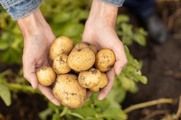 Fototapeta Harvest fresh potatoes in the palms of a man obraz