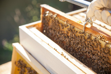 worker bees on a honeycomb before sunset.-Beekeeping