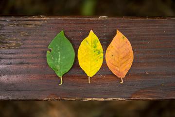 Drei Blätter als Symbol der Laubfärbung auf holzigen Hintergrund