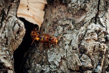Hornissen Nest im Baum Höhle