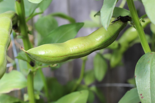Fava bean pod growing in a pot in the garden